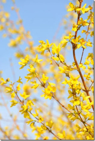 branch-forsythia