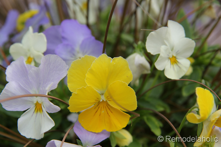 planting fall flowers-6