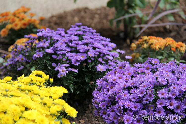 Planting fall flowers - Flowers to plant in the fall ...