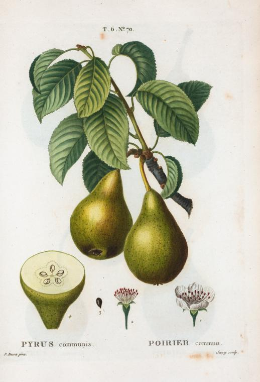vintage printable colored book illustration of a pear NYPL