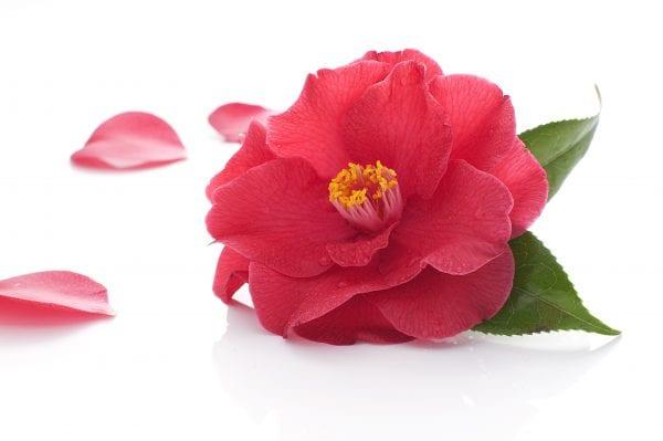 Camellia Istock photo