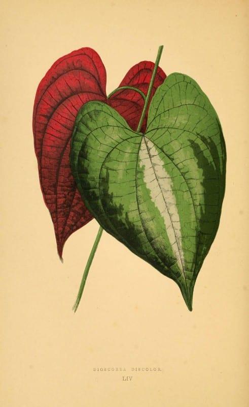 Les plantes a feuillage coloré. v.1. Paris :Rothschild,1867-1870. https://biodiversitylibrary.org/item/55539