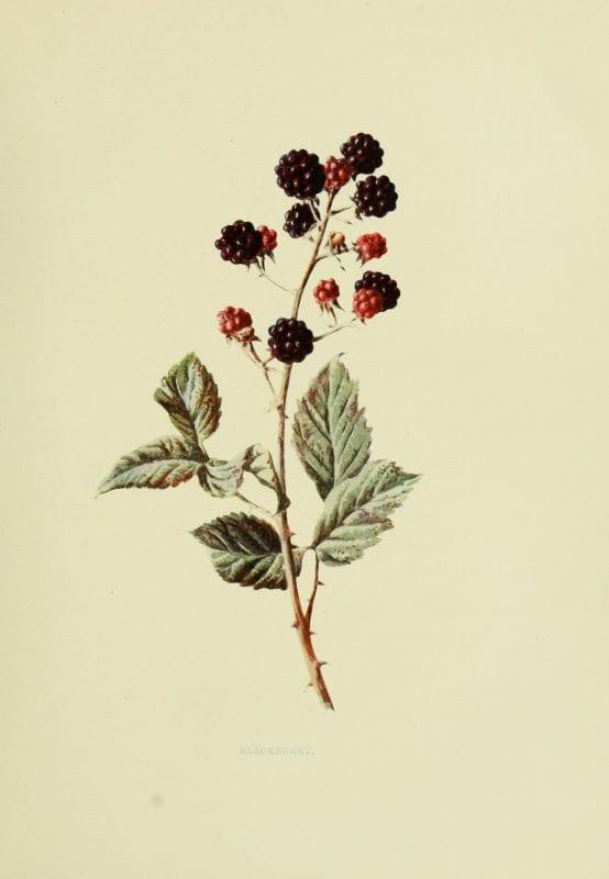 Remodelaholic 20 free vintage fruit images for Botanical tattoo london