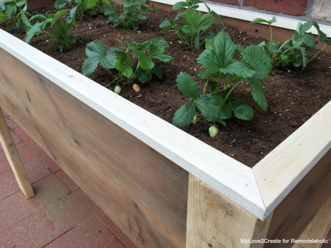 close up of strawberry plants in planter, MyLove2Create for Remodelaholic