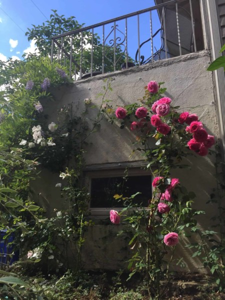 Eden Roses For A Climbing Trellis Along A Concrete Foundation Wall, Top Shelf DIY On Remodelaholic