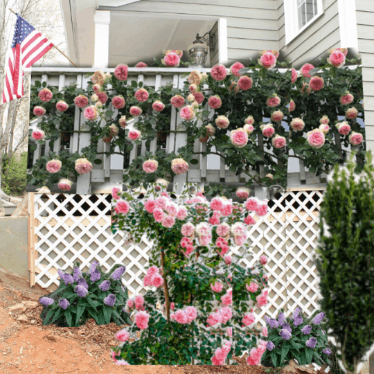 Mockup Climbing Rose Garden Along Exterior Concrete Porch Foundation Wall, Top Shelf DIY On Remodelaholic